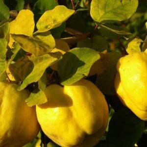 El membrillo, una fruta diferente